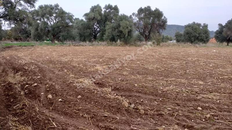 Milas Kısırlar Köyünde, tarla